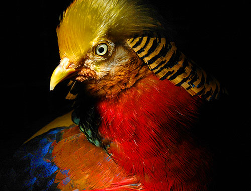 Red Golden Pheasant ~ Image 7